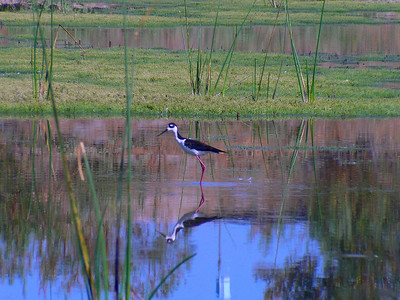 Black-Necked Stilt (pond)