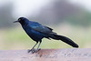 Great Tailed Male Grackle