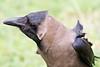 Hampi Crow