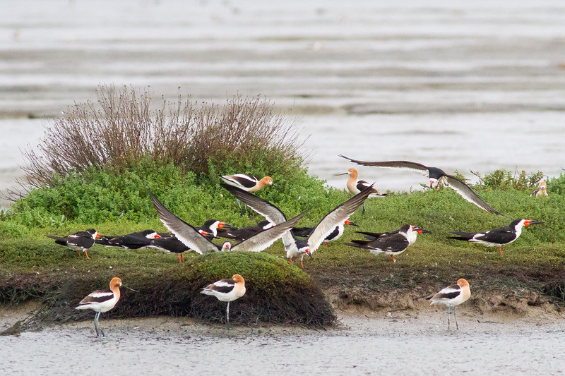 Black Simmers and American Avocets