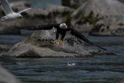 Bald Eagle (Haliaeetus leucocephalus). Bald Eagle is a bird of prey found in North America