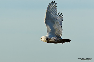 Snowy Owl (Bubo scandiacus).  The Snowy Owl is a large owl of the typical owl family Strigidae. Белая или полярная сова.