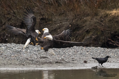 Fighting Bald Eagles.