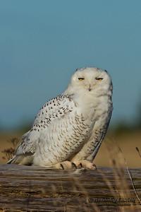Snowy Owl (Bubo scandiacus).  The Snowy Owl is a large owl of the typical owl family Strigidae. Белая сова, или полярная сова.