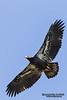Immature Bald Eagle (Haliaeetus leucocephalus). Bald Eagle is a bird of prey found in North America. Белоголовый орлан.