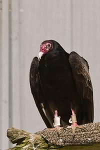 Turkey Vulture (Cathartes aura) in captivity at Oregon Coast Aquarium, Newport, Oregon.