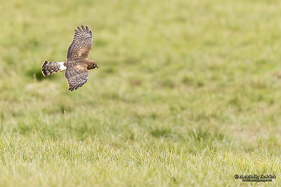 Northern Harrier (Circus cyaneus). Hen Harrier or Northern Harrier is long-winged, long-tailed hawk of open grassland and marshes. Полевой лунь, или обыкновенный лунь.