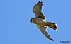 American Kestrel (Falco sparverius), sometimes colloquially known as the Sparrow Hawk. It is the most common falcon in North America