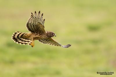 Northern Harrier (Circus cyaneus). Hen Harrier or Northern Harrier is long-winged, long-tailed hawk of open grassland and marshes. Полевой лунь, или обыкновенный лунь.