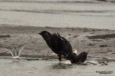 Fighting Bald Eagles.