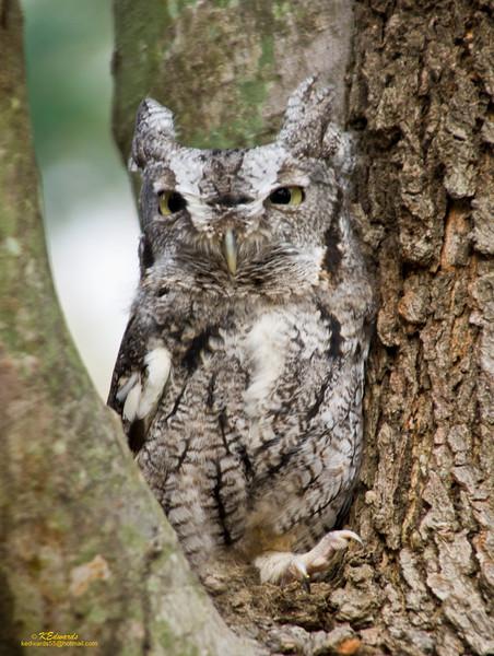 Eastern Screech-Owl, gray morph
