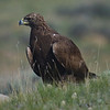 Golden Eagle, juvenile
