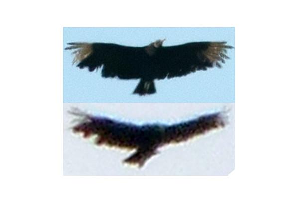 San Diego Black Vulture (top) Santa Barbara Black Vulture (bottom)