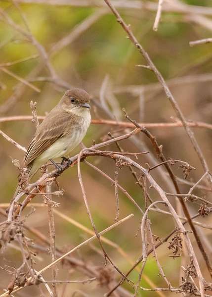 An Eastern Phoebe at Three Lakes WMA, Kenansville, FL