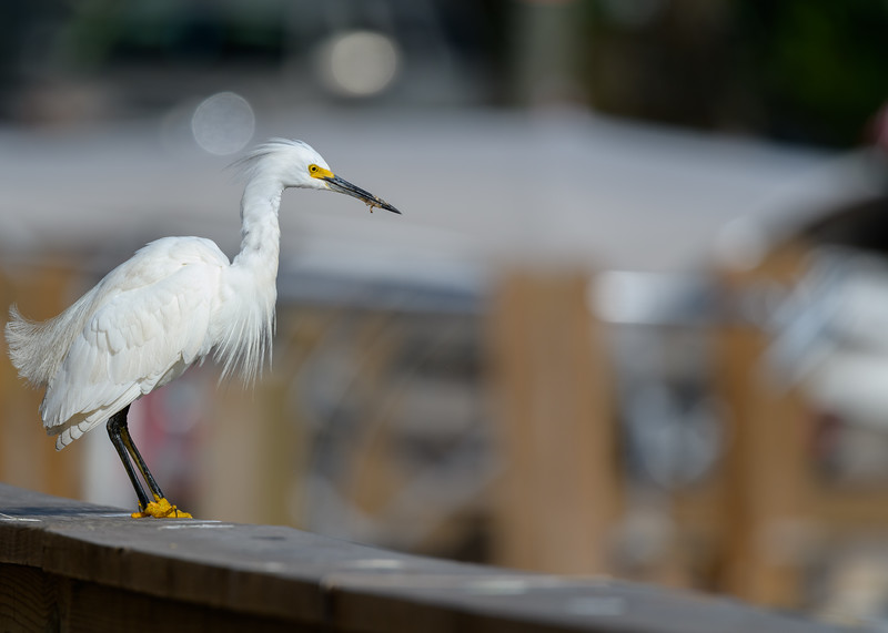 A Snowy Egret at Lake Kissimmee State Park, Lake Wales, FL