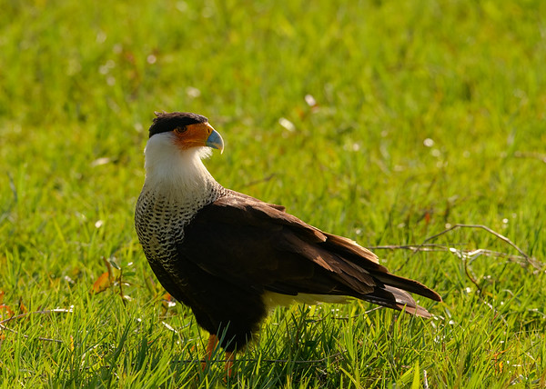 A Crested Caracara (male) at Lake Kissimmee State Park, Lake Wales, FL