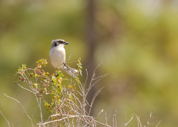A Loggerhead Shrike at Joe Overstreet Road, Kenansville, FL. This was one of the many that I saw in this road, that's well known for some great birds in central FL.