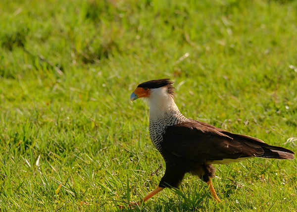 A Crested Caracara (female) at Lake Kissimmee State Park, Lake Wales, FL