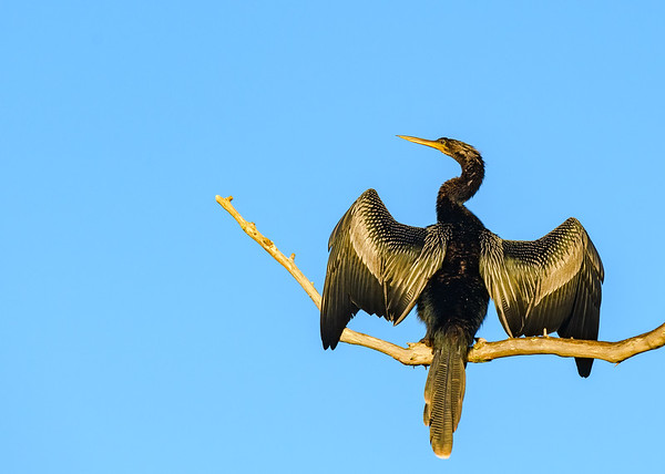 An male Anhinga drying his wings at Circle B Bar Reserve, Lakeland, FL