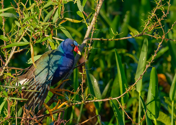 A Purple Gallinule at Circle B Bar Reserve, Lakeland, FL