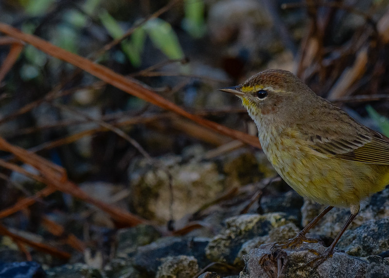 A Palm Warbler at Circle B Bar Reserve, Lakeland, FL