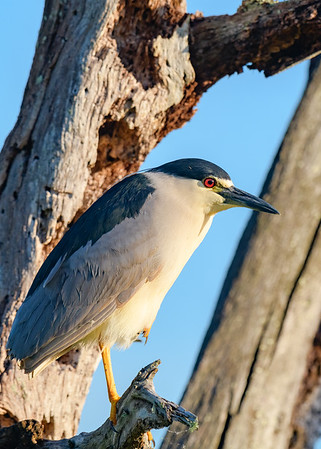A Black-crowned Night-Heron at Circle B Bar Reserve, Lakeland, FL