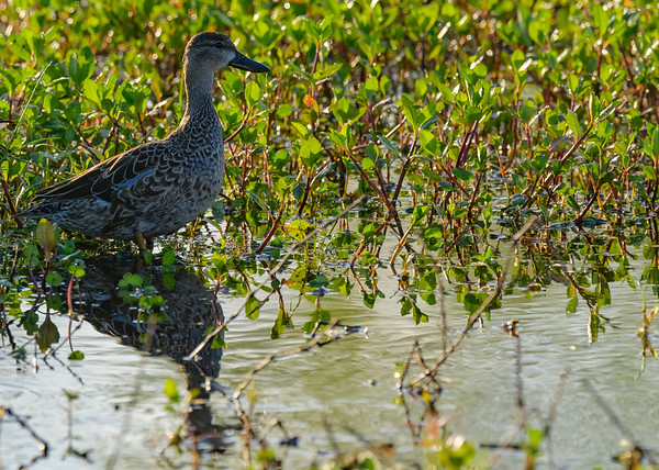 A female Blue-winged Teal at Circle B Bar Reserve, Lakeland, FL