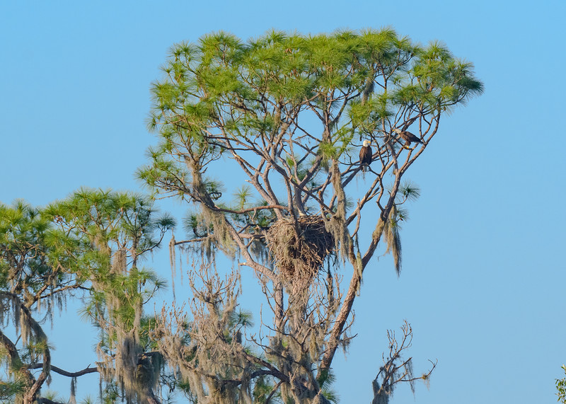 A Bald Eagle pair by their nest at Circle B Bar Reserve, Lakeland, FL