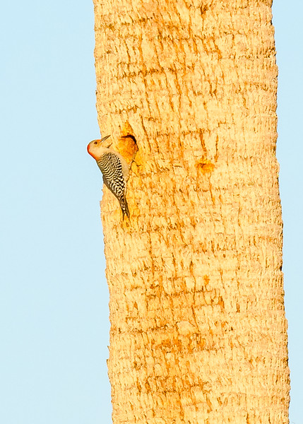 A Red-bellied Woodpecker checking out possible nesting site at Circle B Bar Reserve, Lakeland, FL