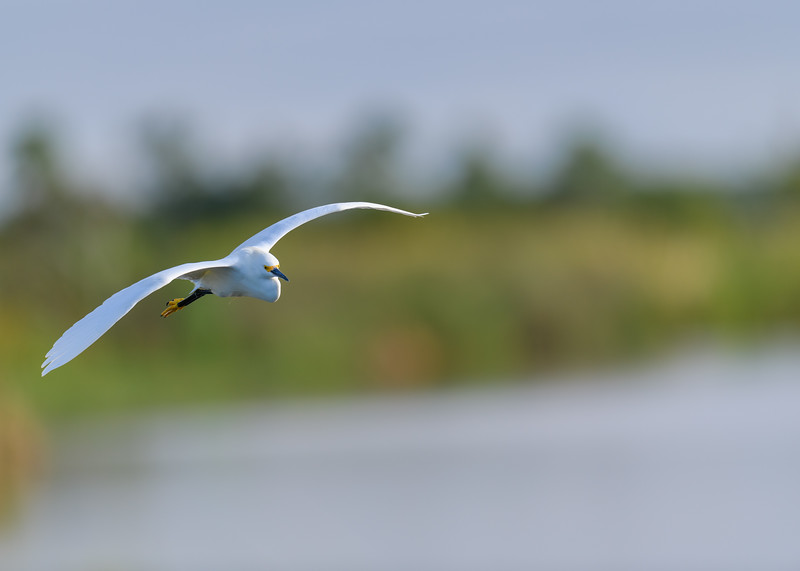 "A Snowy Egret in flight at Ritch Grissom ""Viera"" Memorial Wetlands, Viera, FL"