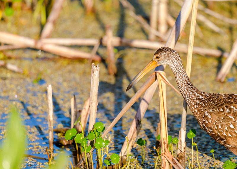 "A close portrait of a Limpkin at Ritch Grissom ""Viera"" Memorial Wetlands, Viera, FL"