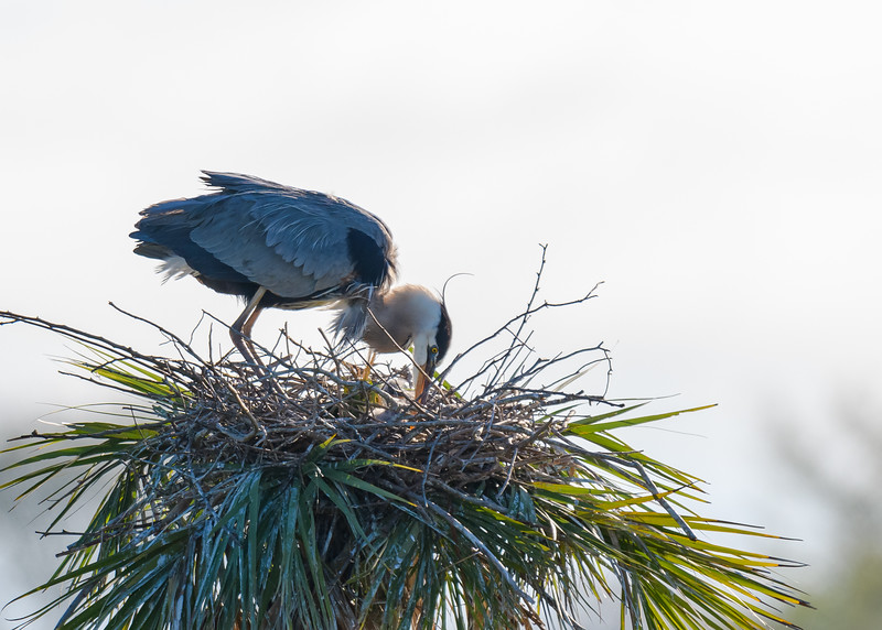 "A Great Blue Heron with a tiny nestling (if you zoon you can see a fur ball with a yellow beak) at Ritch Grissom ""Viera"" Memorial Wetlands, Viera, FL"