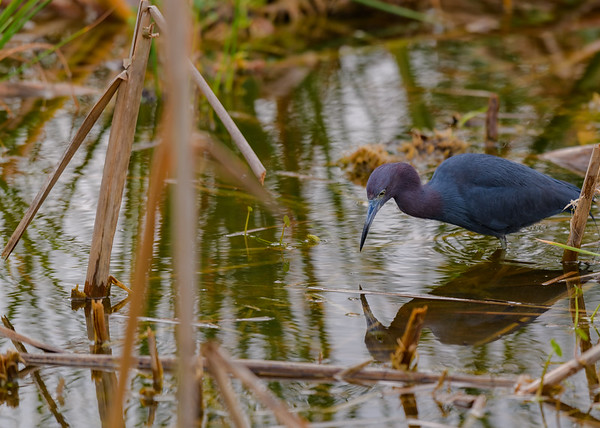 "A Little Blue Heron at Ritch Grissom ""Viera"" Memorial Wetlands, Viera, FL"