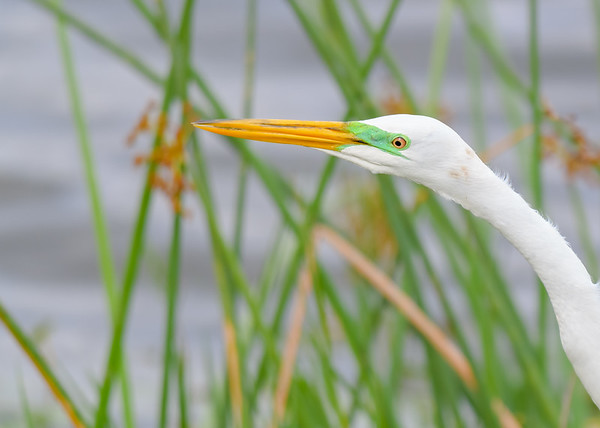 "A Great Egret in its spring suit at Ritch Grissom ""Viera"" Memorial Wetlands, Viera, FL"
