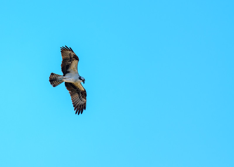 "An Osprey in flight looking for some nice breakfast at Ritch Grissom ""Viera"" Memorial Wetlands, Viera, FL"