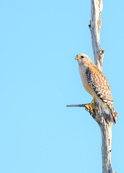 "A Red-shouldered Hawk at Ritch Grissom ""Viera"" Memorial Wetlands, Viera, FL"