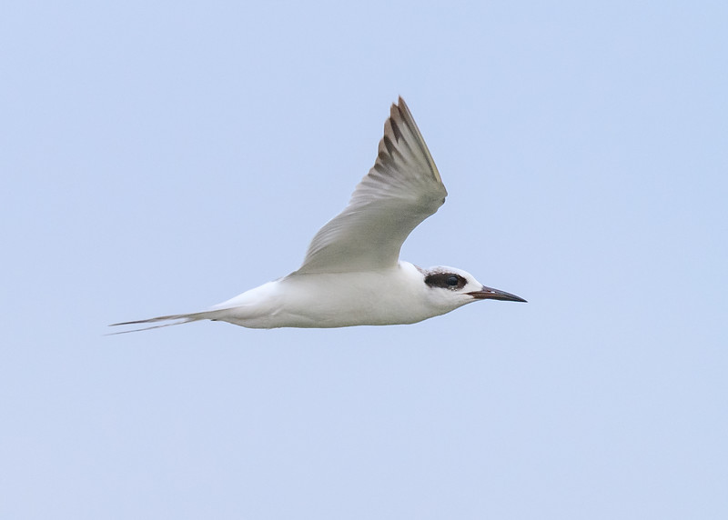 "One of the best in flight shot of a Forster's Tern in its fall suit at Ritch Grissom ""Viera"" Memorial Wetlands, Viera, FL"