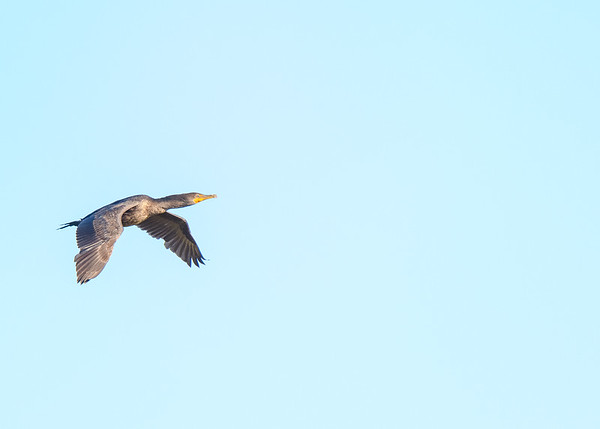 "A Double-crested Cormorant in flight at Ritch Grissom ""Viera"" Memorial Wetlands, Viera, FL"