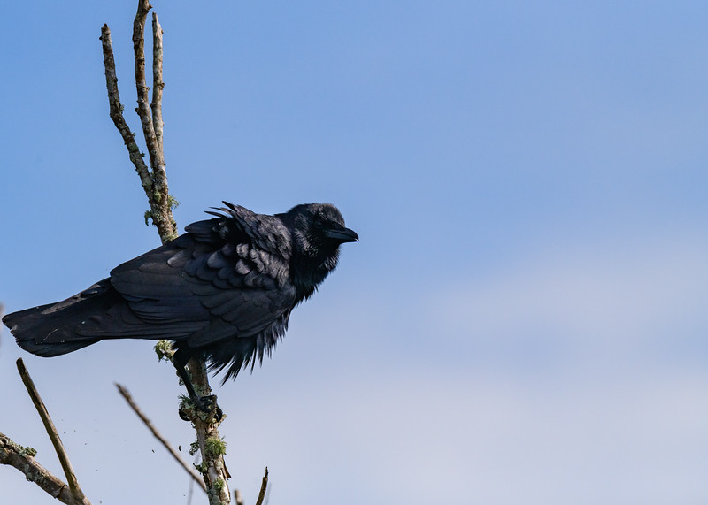 A Fish Crow at Lake Apopka Wildlife Drive, Apopka, FL