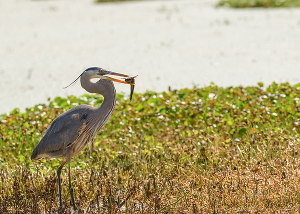 A Great Blue Heron with its lunch at Lake Apopka Wildlife Drive, Apopka, FL