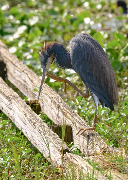 A Tricolored Heron busy satisifying an itch at Lake Apopka Wildlife Drive, Apopka, FL