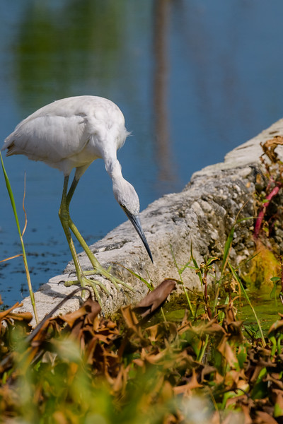A juvenile Little Blue Heron looking for some good stuff to fill its tummy at Lake Apopka Wildlife Drive, Apopka, FL