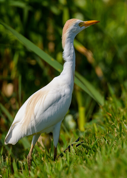 A Cattle Egret who is just getting its spring suit at Lake Apopka Wildlife Drive, Apopka, FL