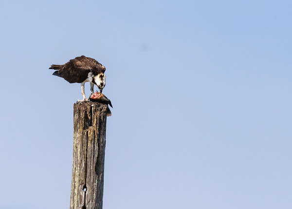 An Osprey busy with its lunch at Lake Apopka Wildlife Drive, Apopka, FL