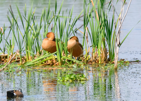 A Fulvous Whistling-Duck pair at Lake Apopka Wildlife Drive, Apopka, FL