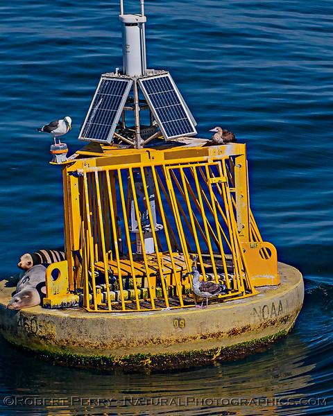 Sula sula red-footed booby etc on NOAA buoy 46053 East Santa Barbara Channel & Zalophus 2019 10-26 SB Channel-b-042