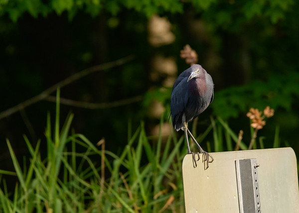 A Little Blue Heron at Lake Kissimmee State Park, Lake Wales, FL