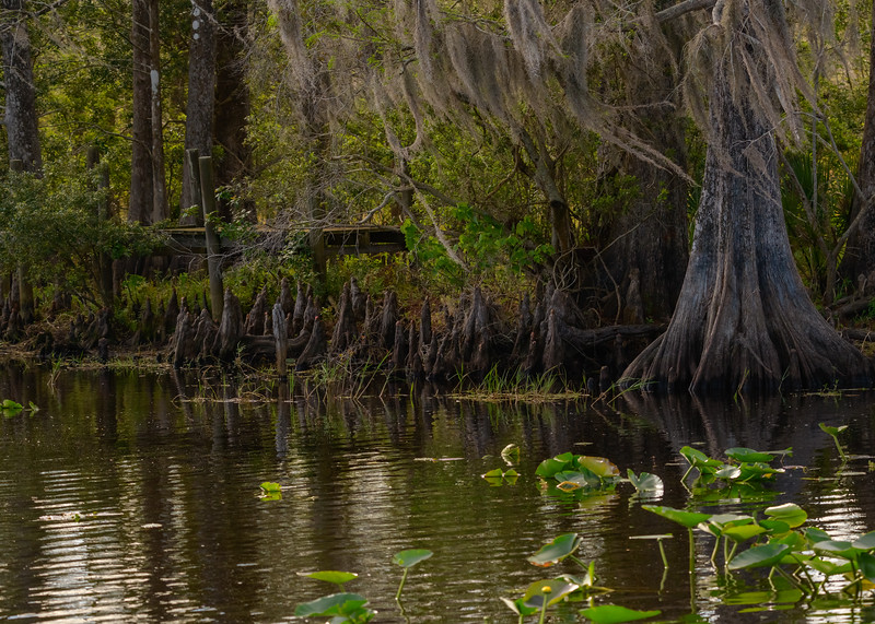 A Bald Cypress with its knees and hanging spanish moss at Lake Kissimmee State Park, Lake Wales, FL