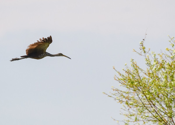 A Limpkin in flight at Lake Kissimmee State Park, Lake Wales, FL