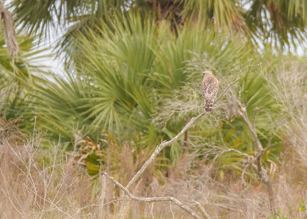 A distant Red-shouldered Hawk at Three Lakes WMA, Kenansville, FL